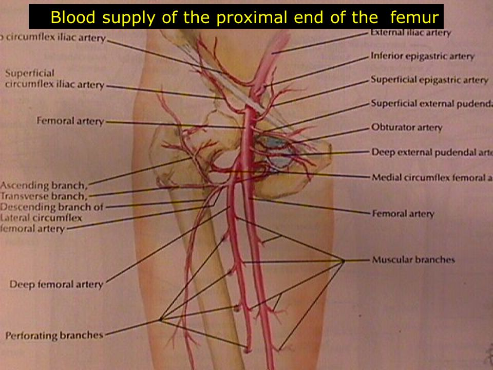 Blood supply of the proximal end of the femur