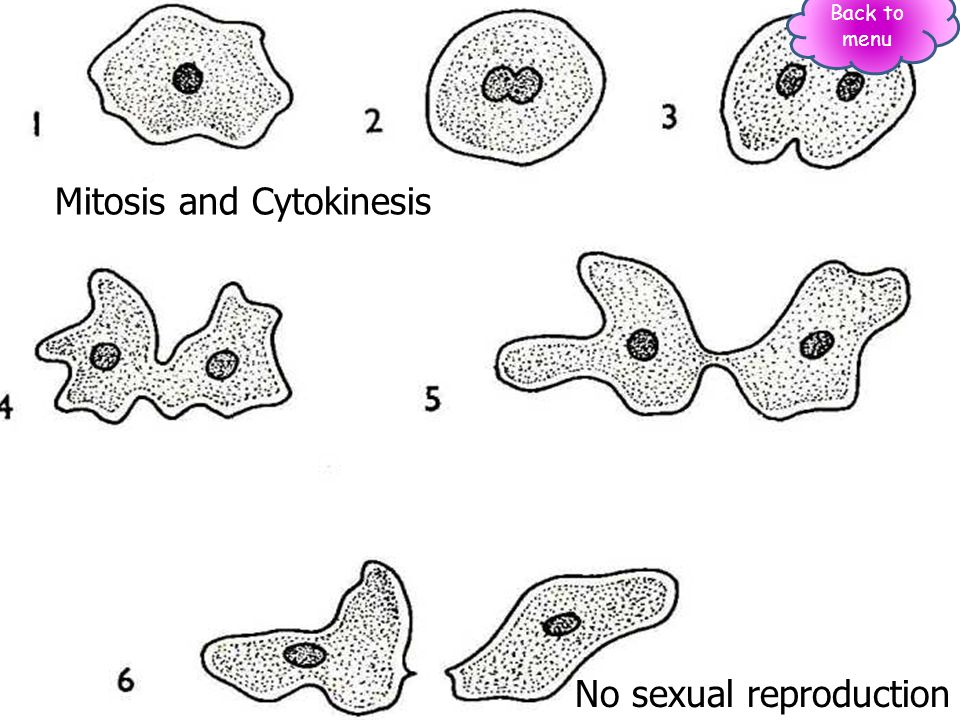 Mitosis and Cytokinesis