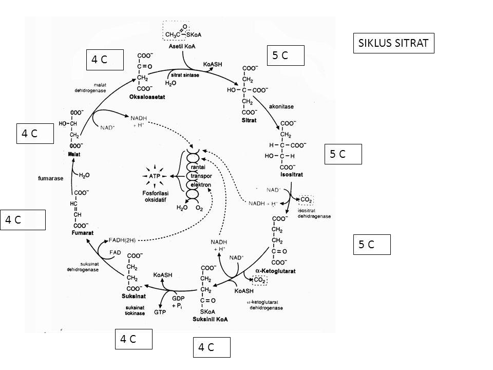 SIKLUS SITRAT 5 C 4 C 4 C 5 C 4 C 5 C 4 C 4 C