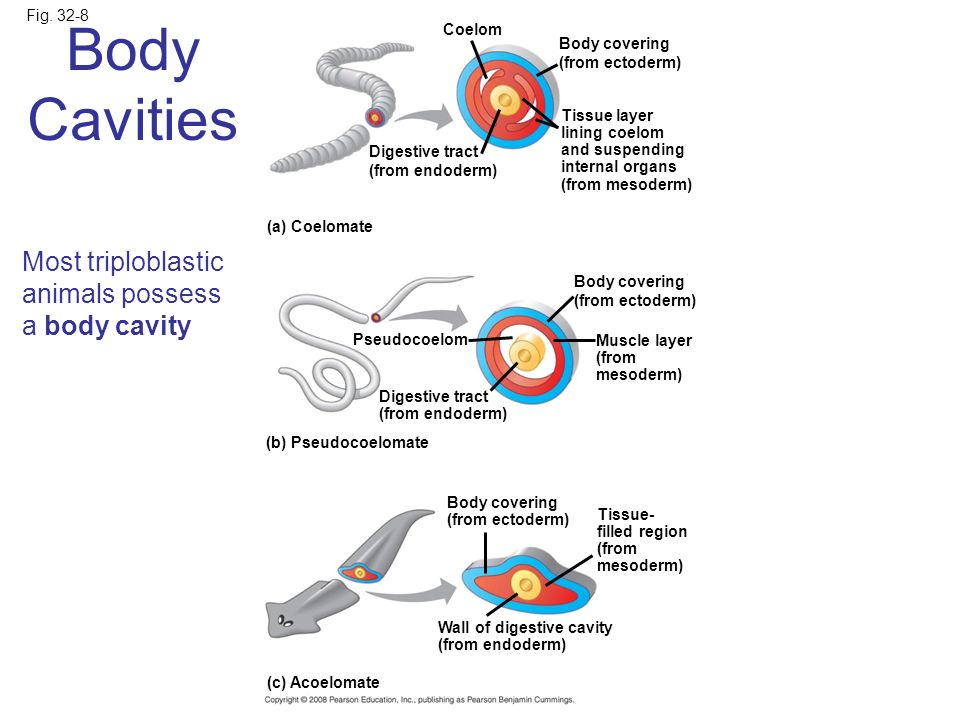 Body Cavities Most triploblastic animals possess a body cavity