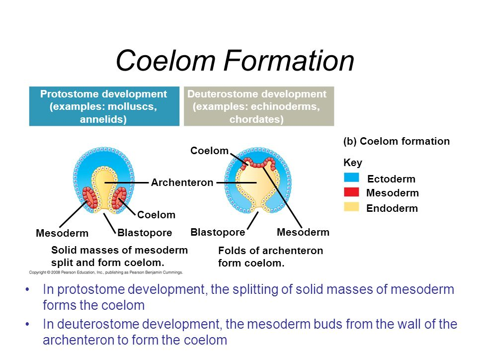 Coelom Formation Protostome development. (examples: molluscs, annelids) Deuterostome development.