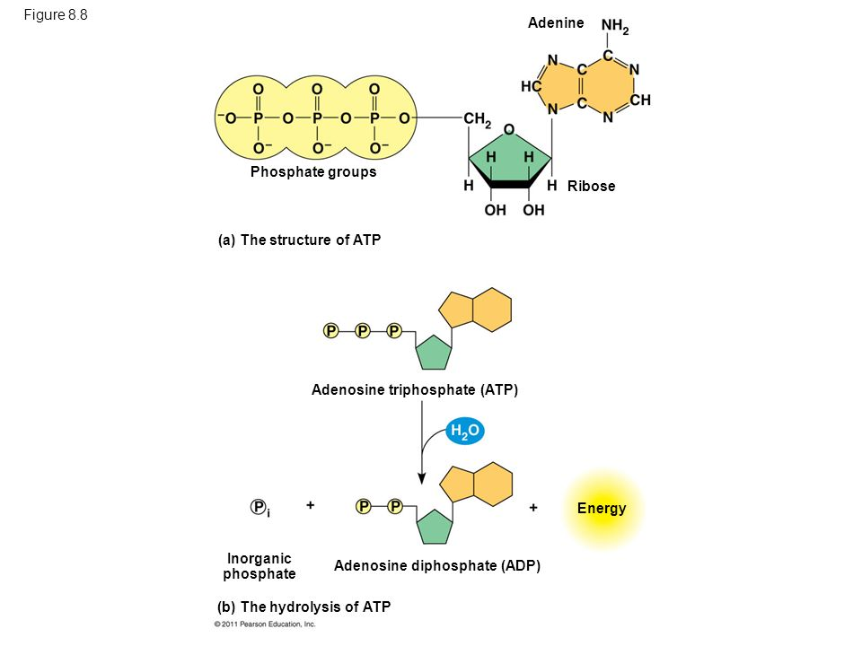 Figure 8.8Adenine. Phosphate groups. Ribose. (a) The structure of ATP. Adenosine triphosphate (ATP)