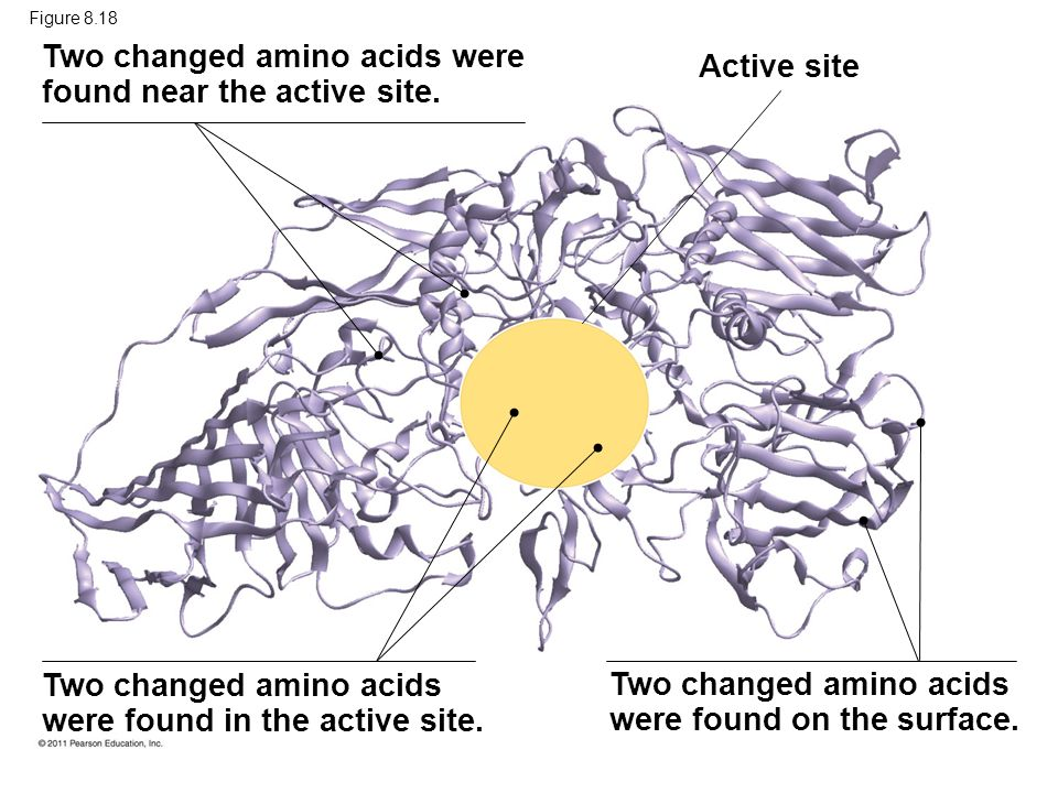 Two changed amino acids were found near the active site. Active site
