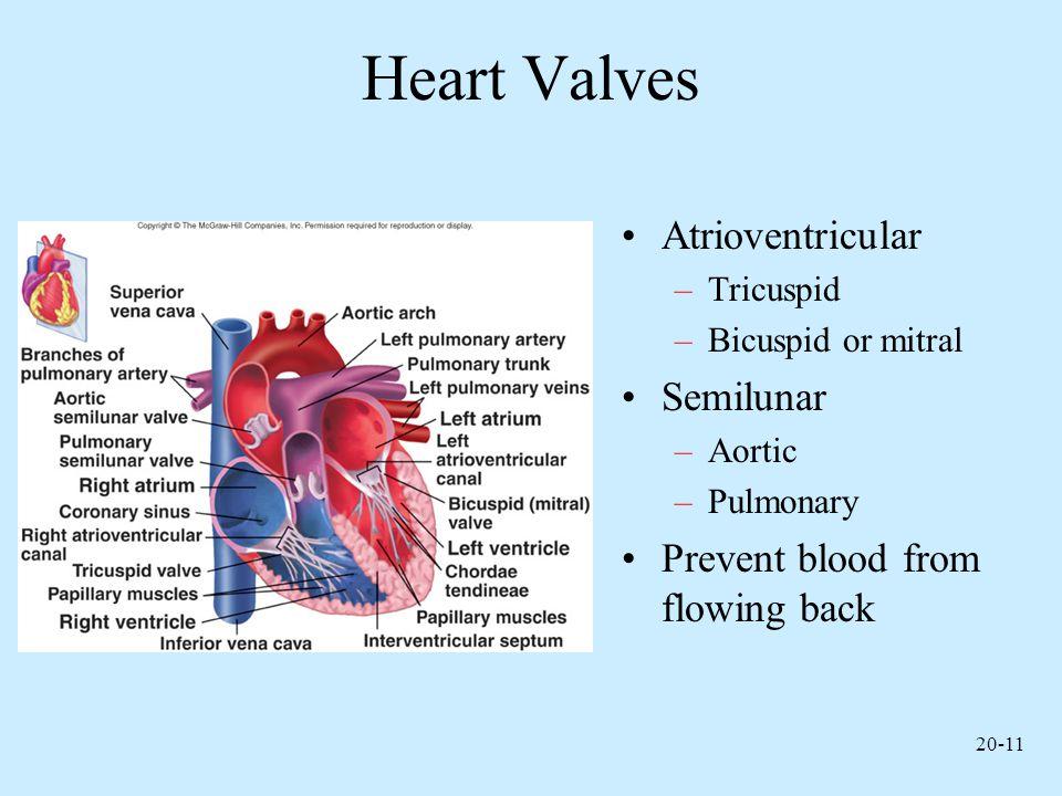 Heart Valves Atrioventricular Semilunar
