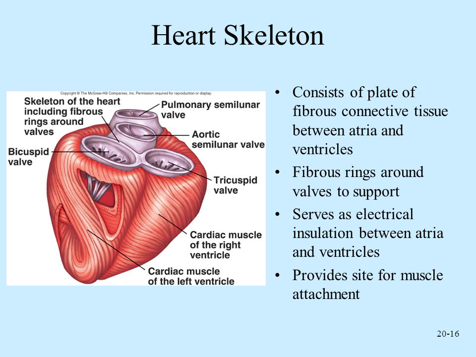 Heart Skeleton Consists of plate of fibrous connective tissue between atria and ventricles. Fibrous rings around valves to support.