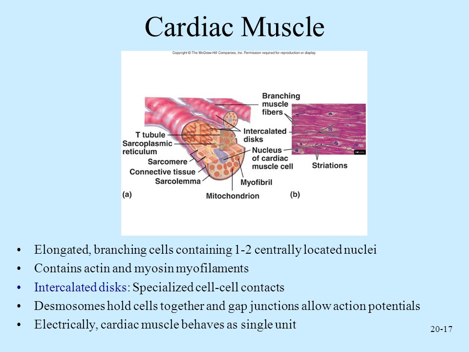 Cardiac Muscle Elongated, branching cells containing 1-2 centrally located nuclei. Contains actin and myosin myofilaments.