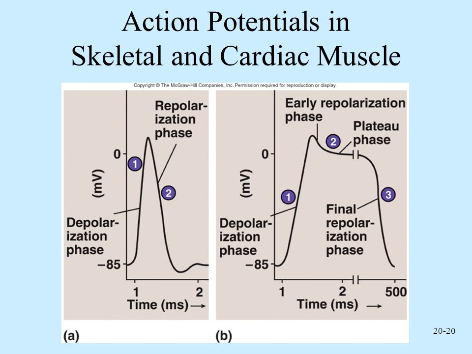 Action Potentials in Skeletal and Cardiac Muscle