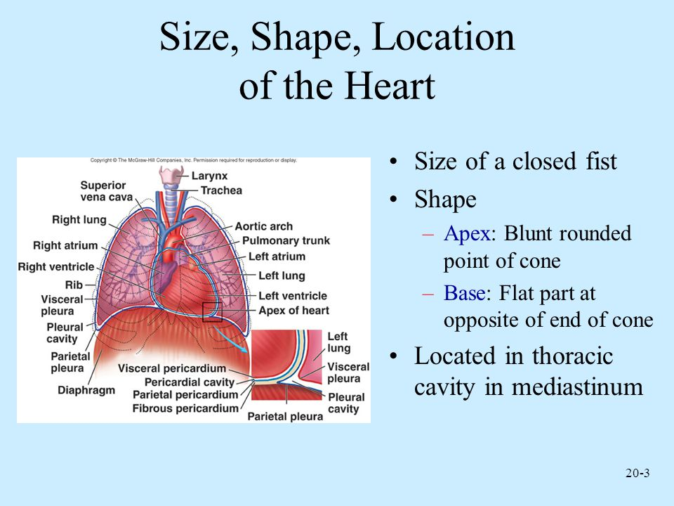 Size, Shape, Location of the Heart
