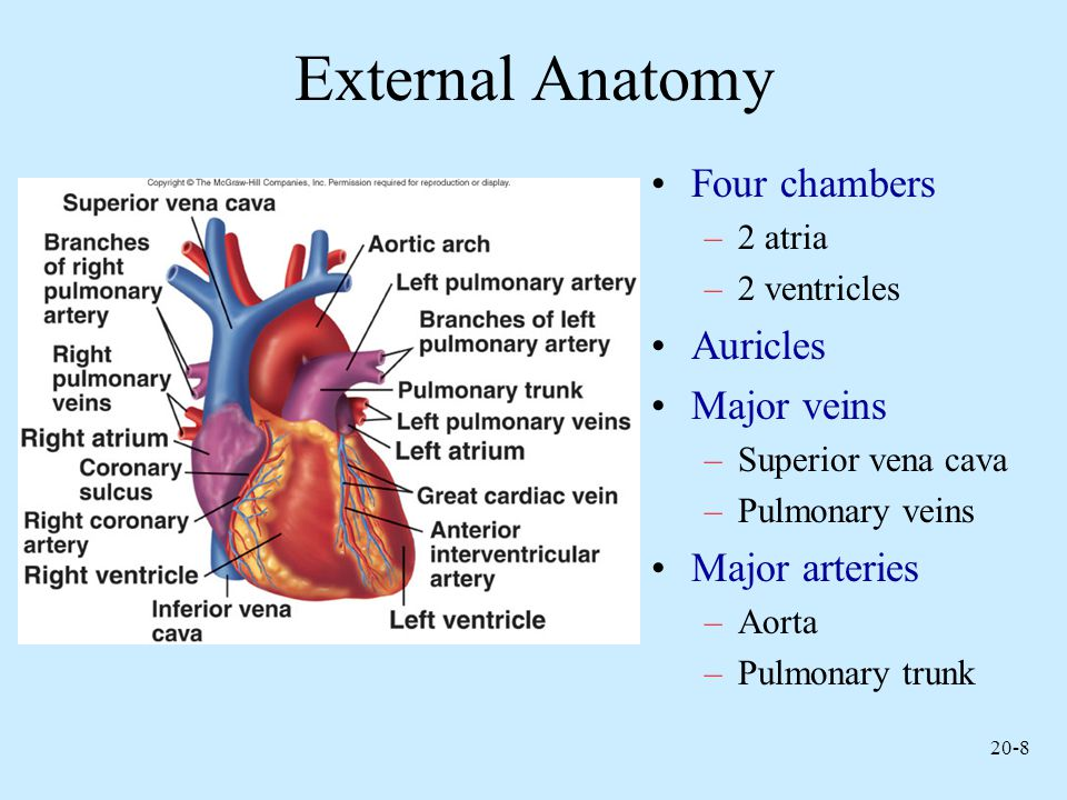External Anatomy Four chambers Auricles Major veins Major arteries