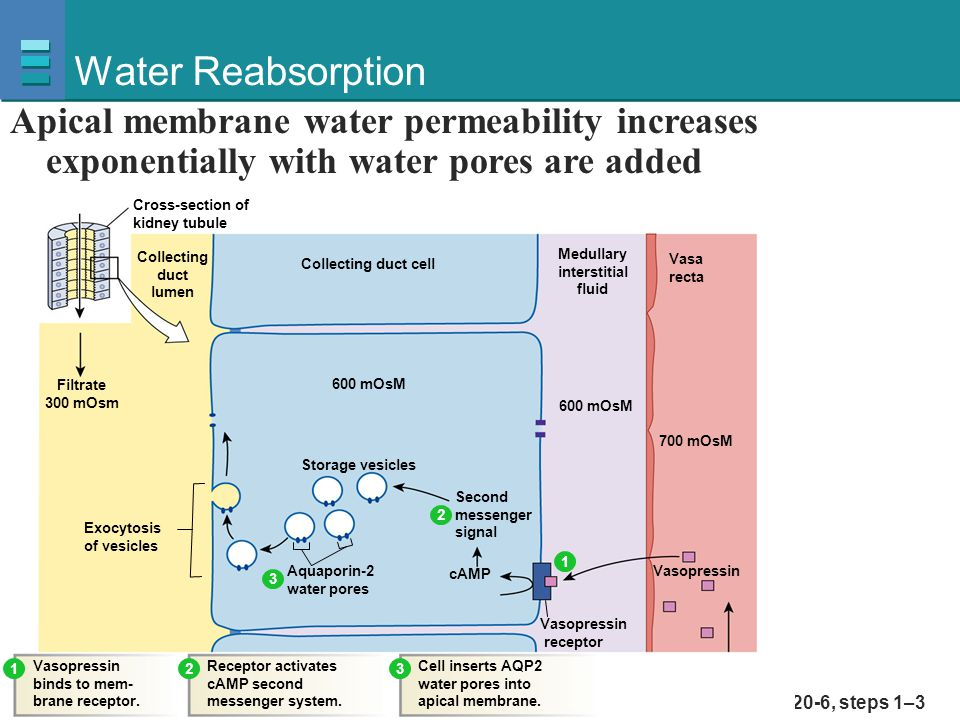 Water Reabsorption Apical membrane water permeability increases exponentially with water pores are added.