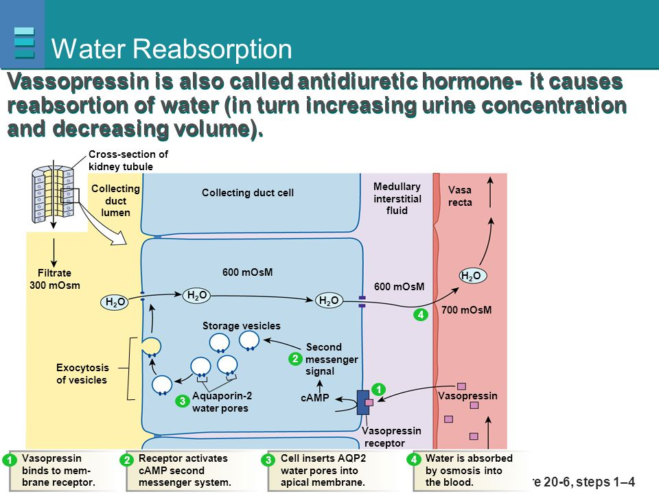 Water Reabsorption