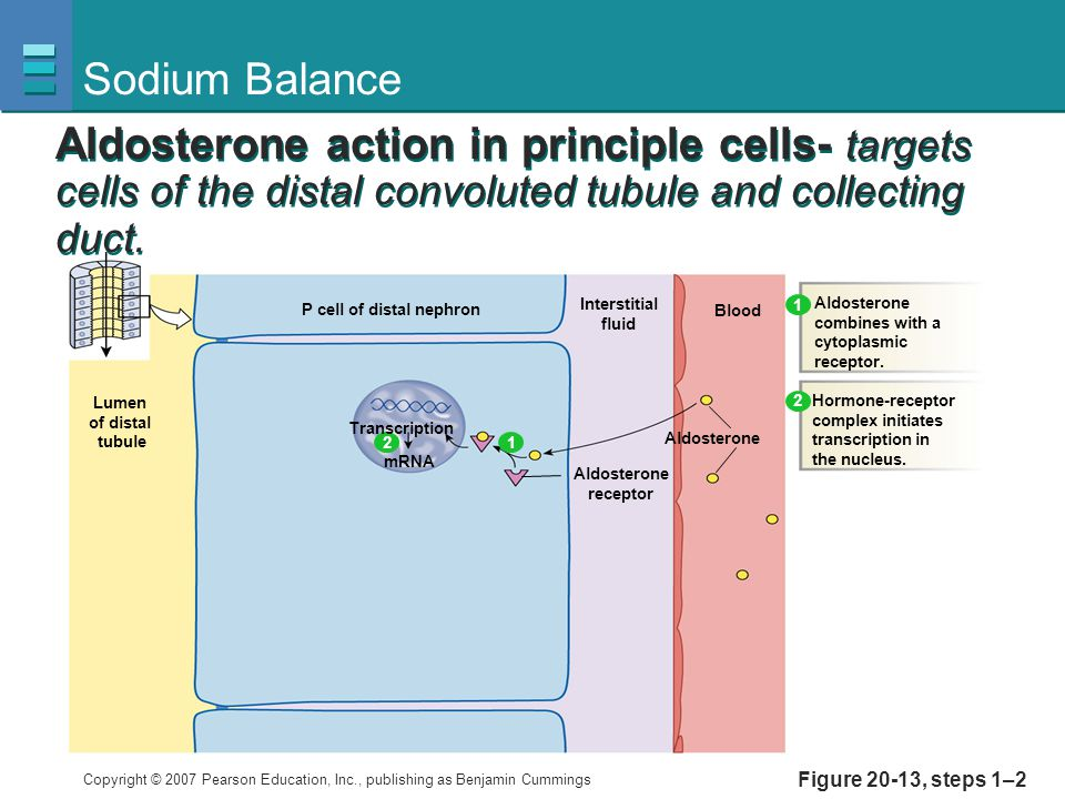 Sodium Balance Aldosterone action in principle cells- targets cells of the distal convoluted tubule and collecting duct.