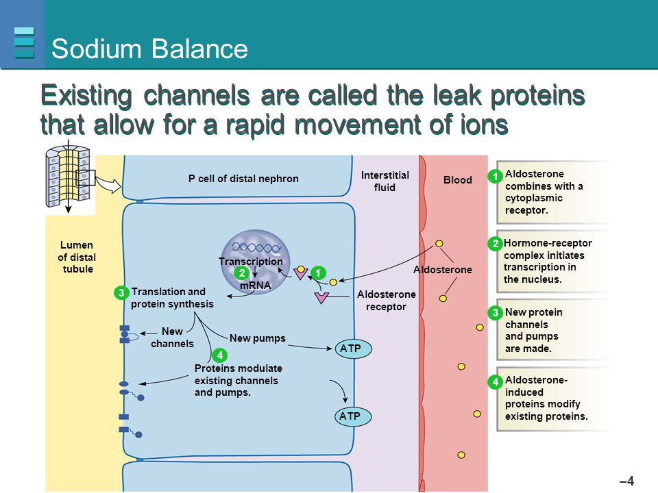 Sodium Balance Existing channels are called the leak proteins that allow for a rapid movement of ions.