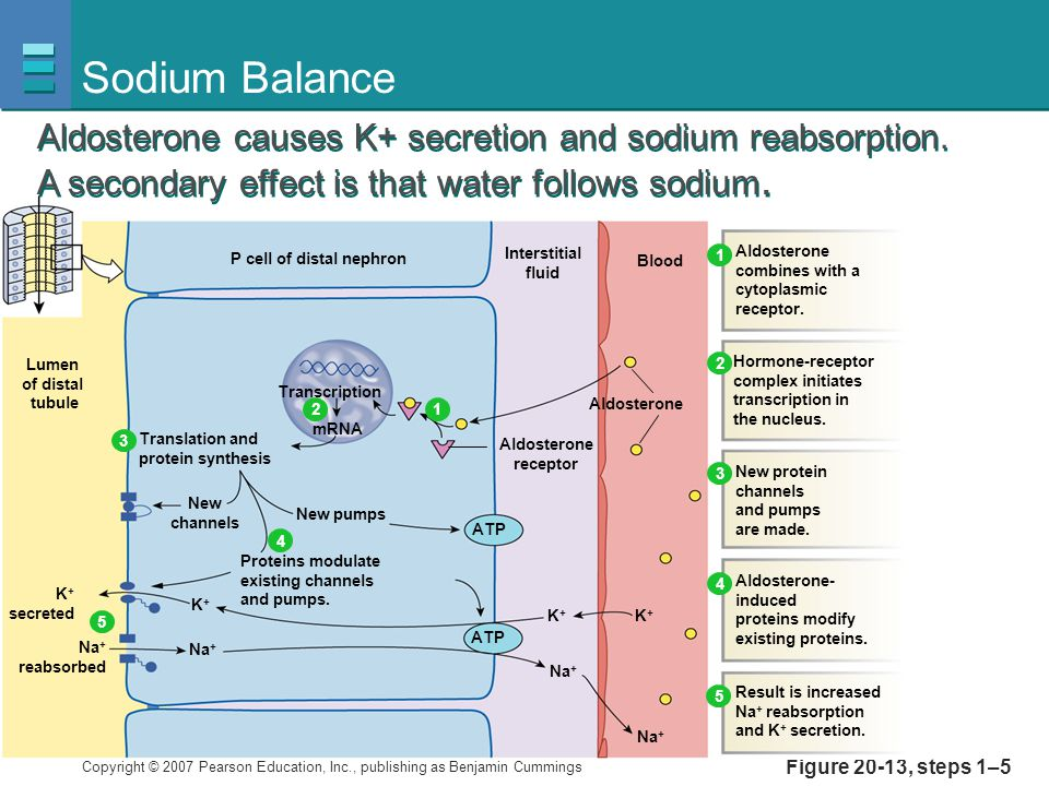 Sodium Balance Aldosterone causes K+ secretion and sodium reabsorption. A secondary effect is that water follows sodium.
