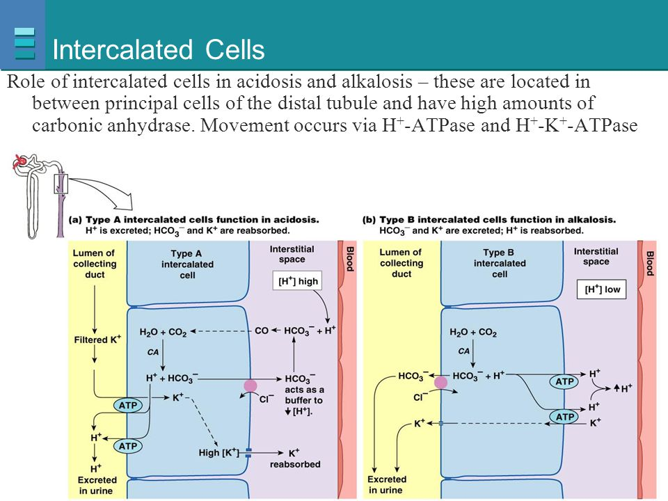 Intercalated Cells