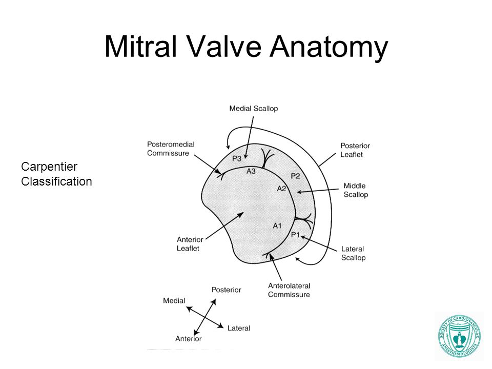 Mitral valve anatomy echo