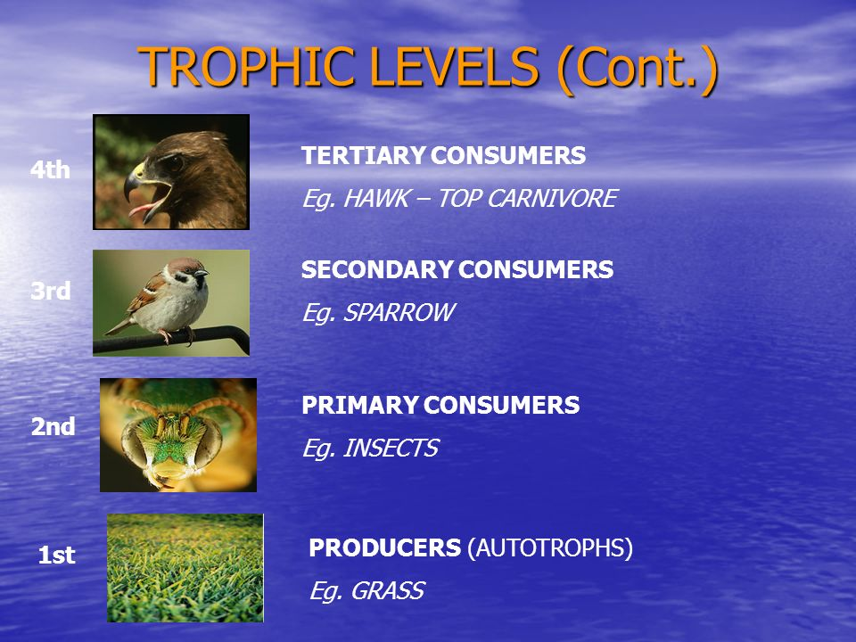 TROPHIC LEVELS (Cont.) TERTIARY CONSUMERS Eg. HAWK – TOP CARNIVORE 4th