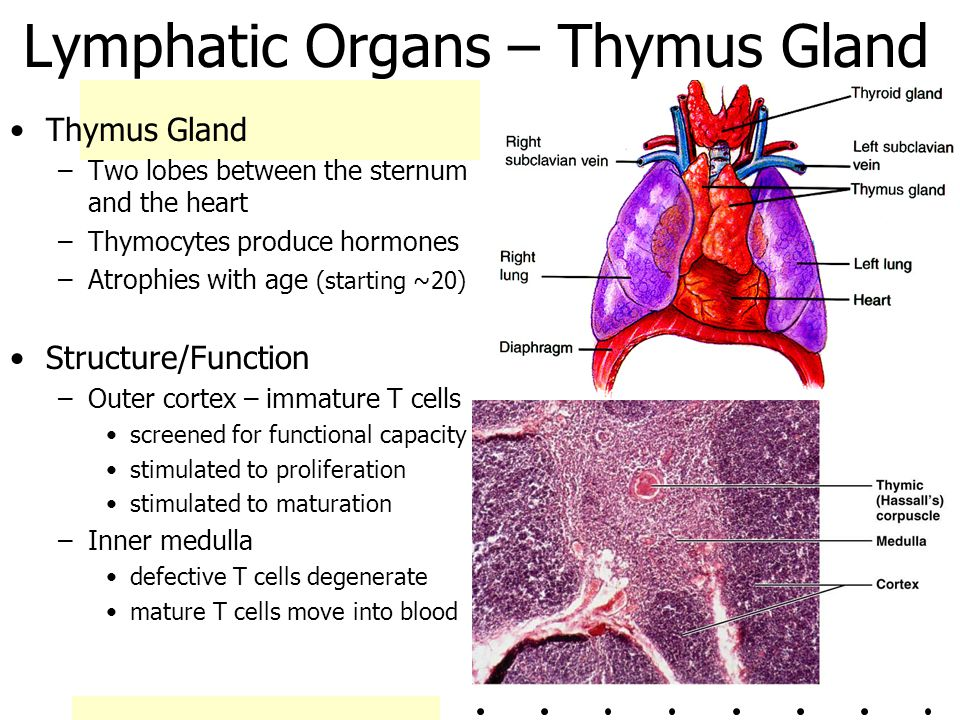 seed structure and function diagram thymus gland function diagram chapter 20 the lymphatic system - ppt video online download