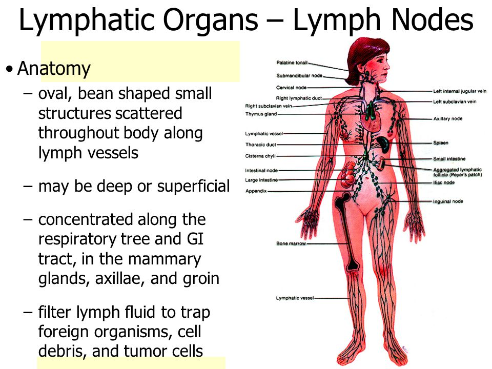 Lymphatic Organs – Lymph Nodes