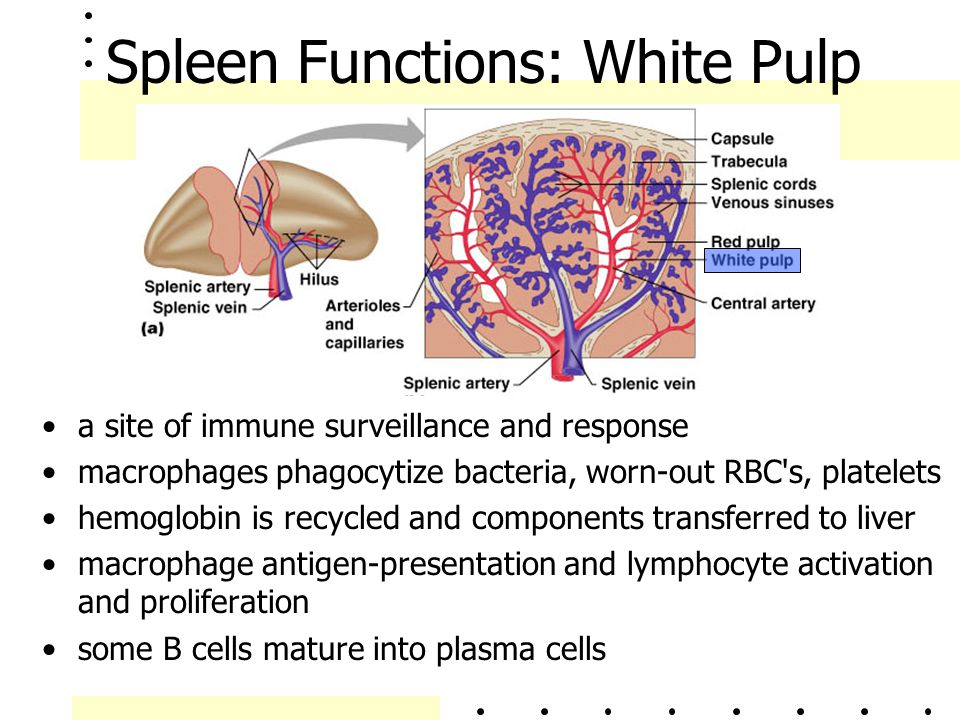 Spleen Functions: White Pulp