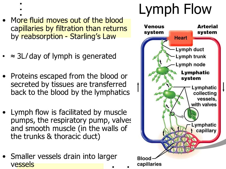 Lymph Flow More fluid moves out of the blood capillaries by filtration than returns by reabsorption - Starling's Law.