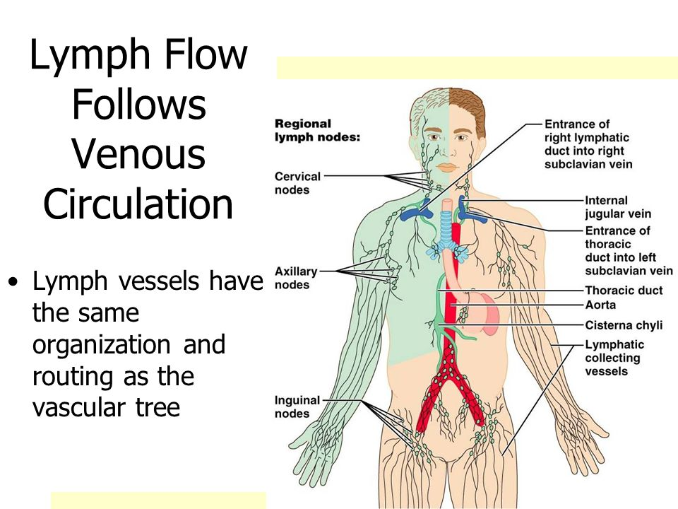 Lymph Flow Follows Venous Circulation