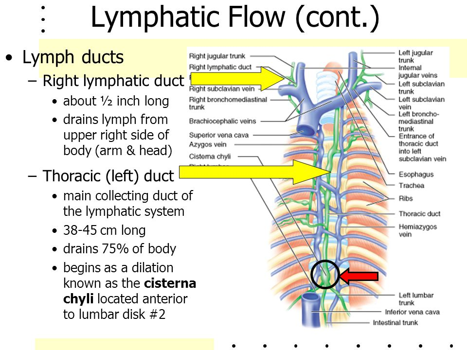 Lymphatic Flow (cont.) Lymph ducts Right lymphatic duct