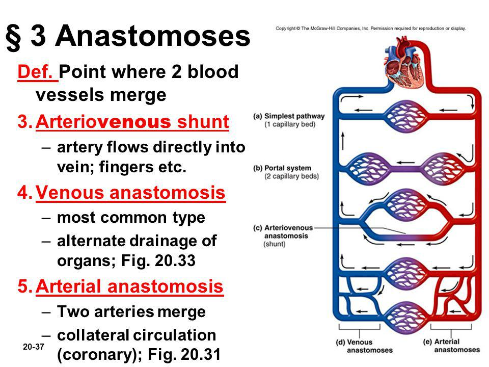 § 3 Anastomoses Def. Point where 2 blood vessels merge
