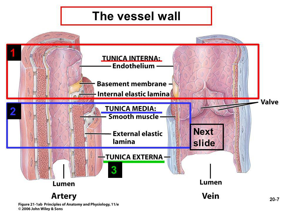 The vessel wall 1 2 Next slide 3