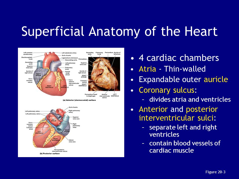 Superficial Anatomy of the Heart