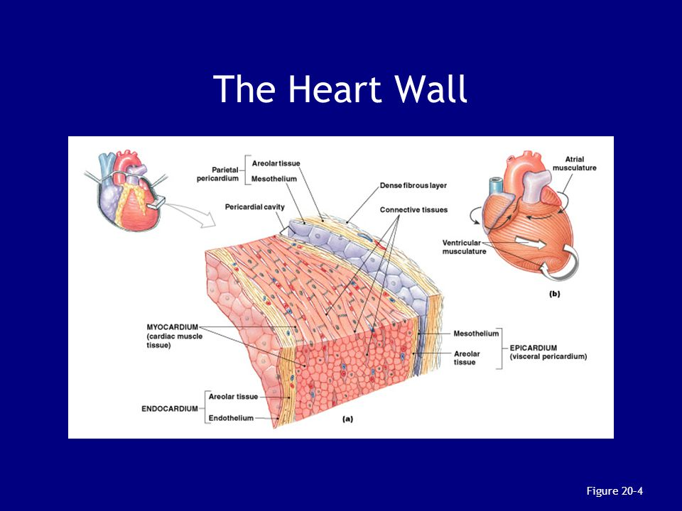 The Heart Wall Figure 20–4