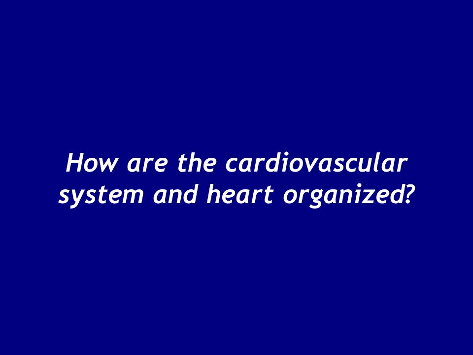 How are the cardiovascular system and heart organized