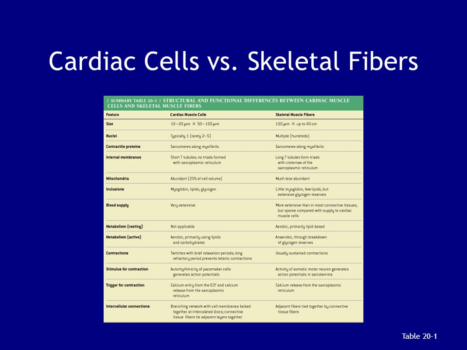Cardiac Cells vs. Skeletal Fibers