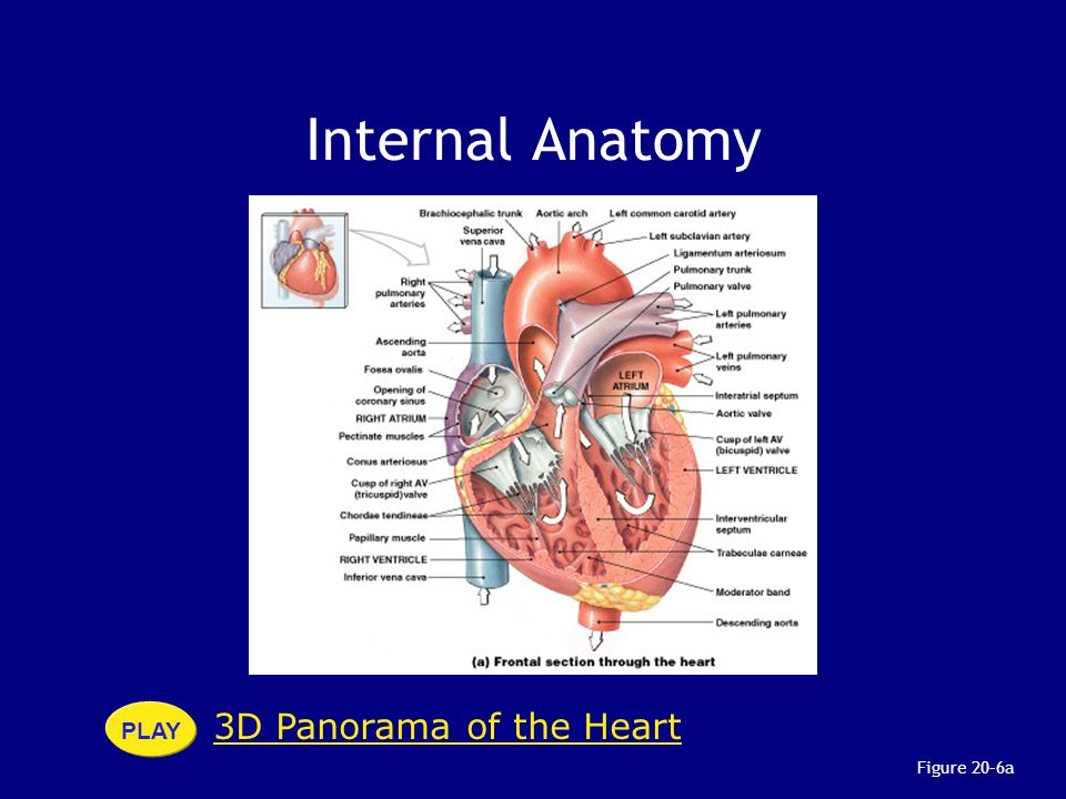 Internal Anatomy PLAY 3D Panorama of the Heart Figure 20–6a