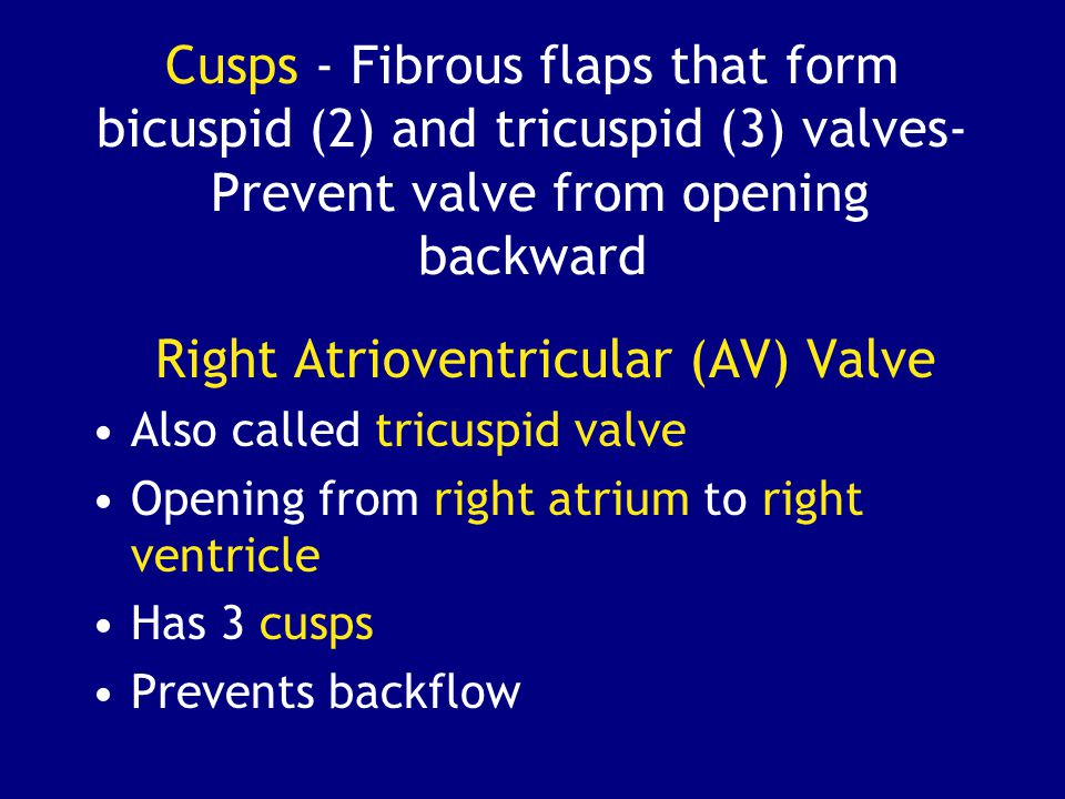 Right Atrioventricular (AV) Valve