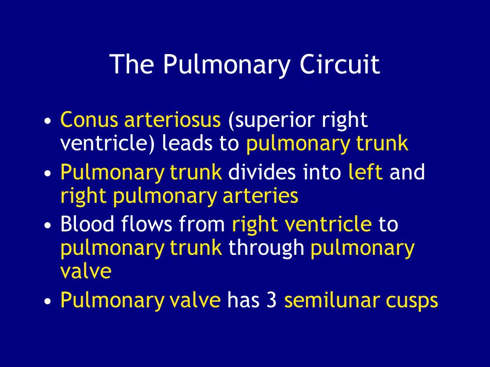 The Pulmonary Circuit Conus arteriosus (superior right ventricle) leads to pulmonary trunk.