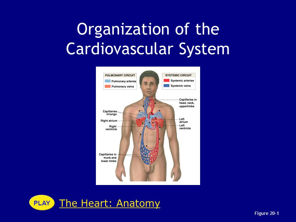 Organization of the Cardiovascular System