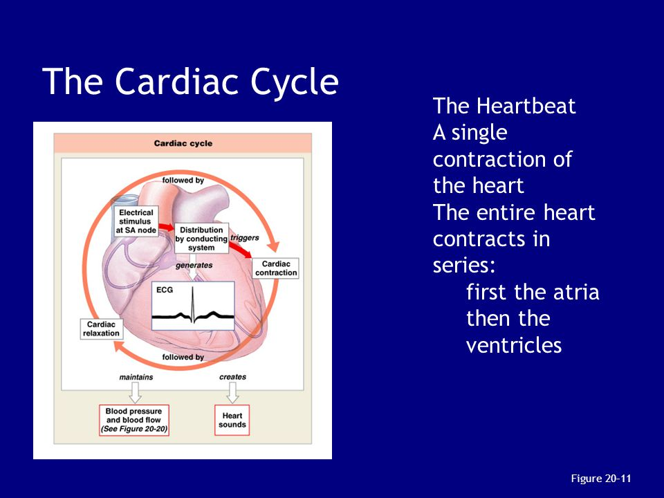 The Cardiac Cycle The Heartbeat A single contraction of the heart