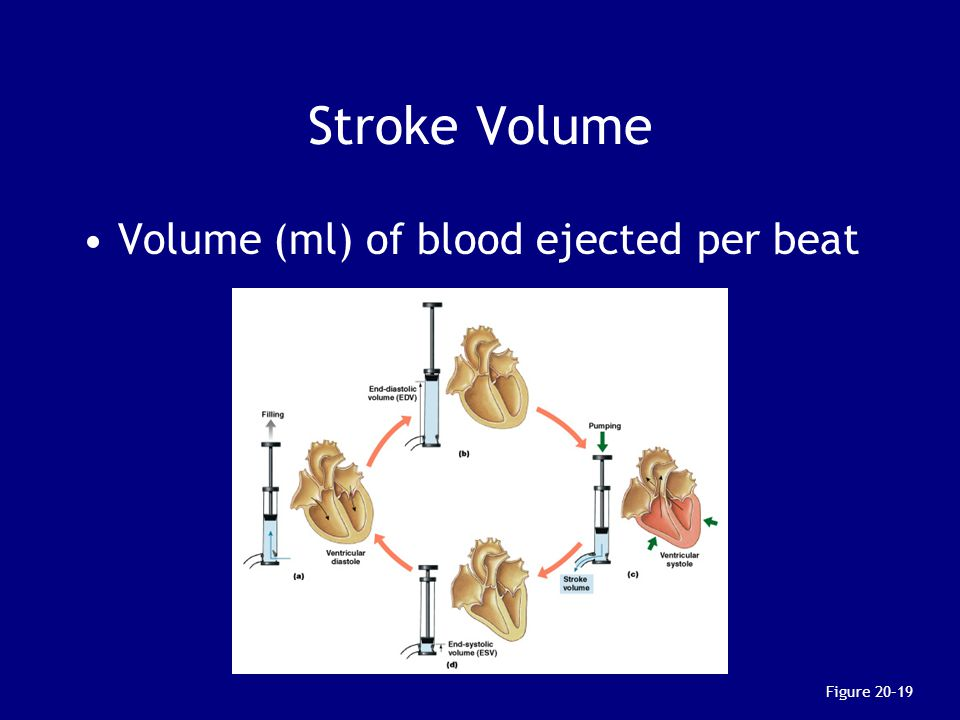 Stroke Volume Volume (ml) of blood ejected per beat Figure 20–19