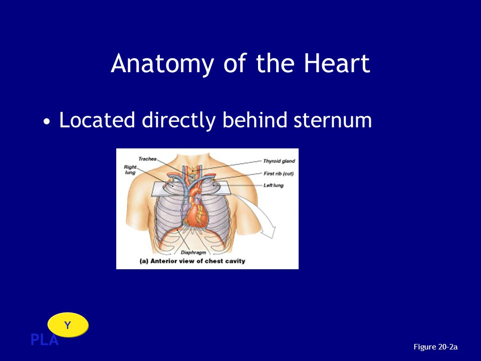 Anatomy of the Heart Located directly behind sternum PLA Y