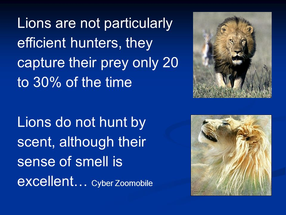 Lions are not particularly efficient hunters, they capture their prey only 20 to 30% of the time