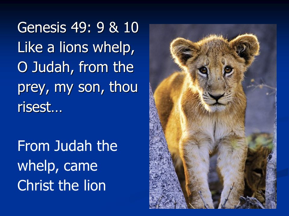 Genesis 49: 9 & 10 Like a lions whelp, O Judah, from the prey, my son, thou risest…