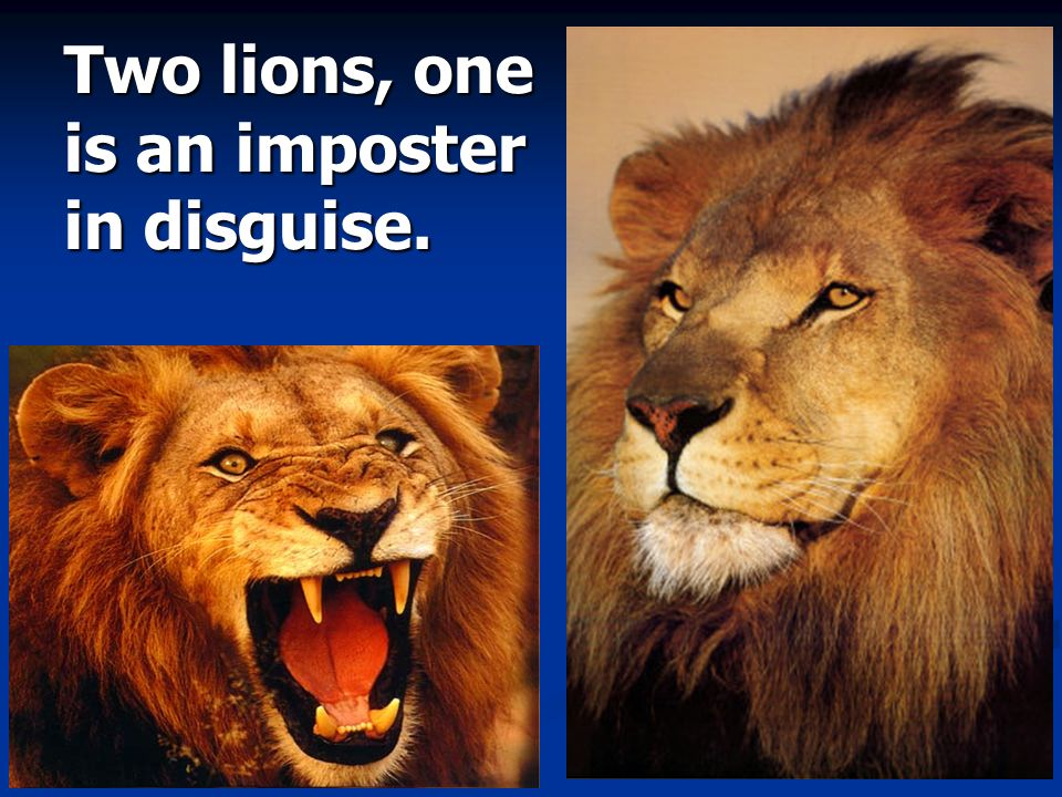 Two lions, one is an imposter in disguise.