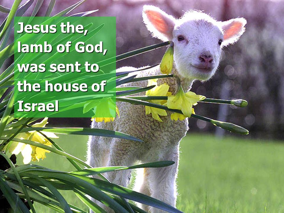 Israel killed the Lamb Jesus the, lamb of God, was sent to the house of Israel