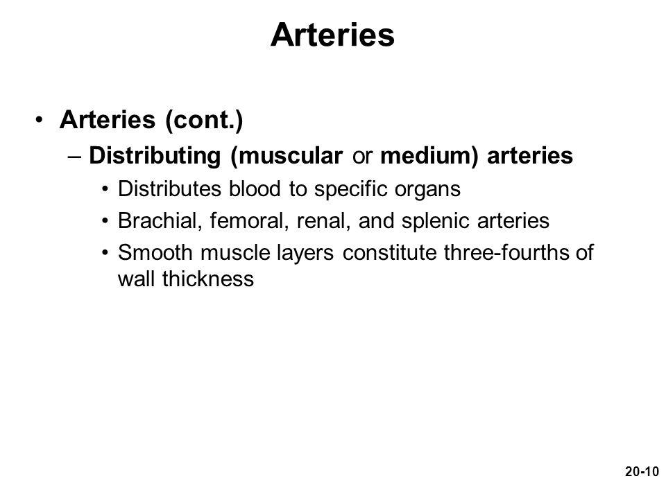 Arteries Arteries (cont.) Distributing (muscular or medium) arteries