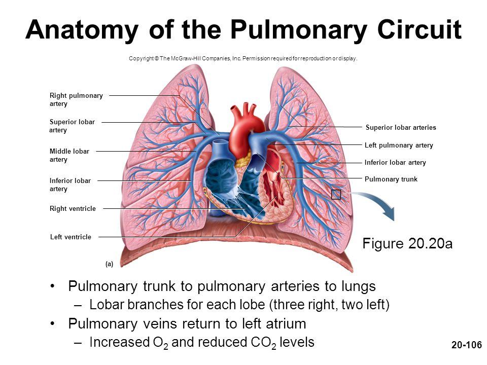 Anatomy of the Pulmonary Circuit