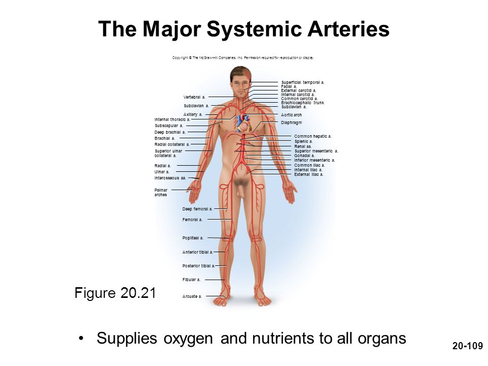 The Major Systemic Arteries