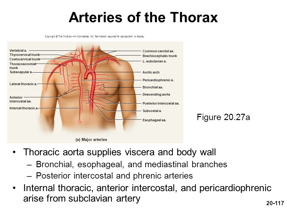Arteries of the Thorax Thoracic aorta supplies viscera and body wall