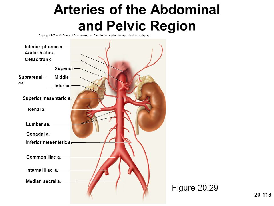 Arteries of the Abdominal and Pelvic Region