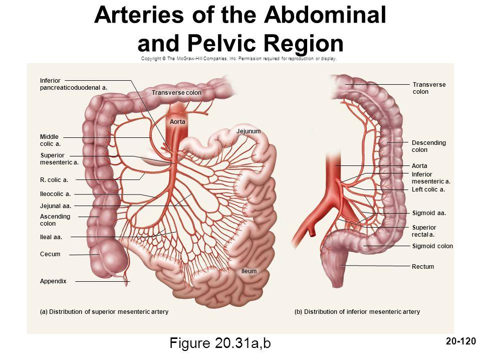 Arteries of the Abdominal and Pelvic Region